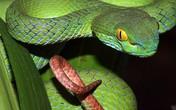 Lãnh đạo Trại Rắn chia sẻ về điều trị rắn lục đuôi đỏ cắn