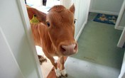 Bò đột nhập vào phòng khách, làm loạn khi chủ nhân đang tắm