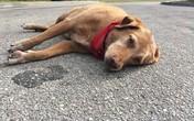 Ảnh chú chó nằm buồn bã nơi chủ bị tai nạn qua đời khiến nhiều người rơi lệ