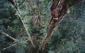 Bí ẩn bộ tộc ăn thịt người sống trong những ngôi nhà chót vót trên ngọn cây