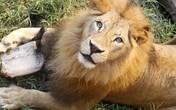 Vườn thú tuyên bố mổ sư tử trước mặt du khách gây sốc