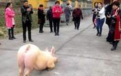 Lợn quỳ gối trước cửa chùa