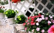 Vườn hoa xuân tuyệt đẹp trên ban công 15m vuông