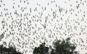 Kỳ thú đàn cò hàng nghìn con trú ngụ trong vườn một người dân