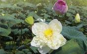 Đầm sen có 12 loài quý hiếm ở ngoại thành Hà Nội