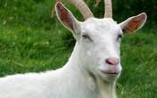 """Thịt dê có phải """"đại sứ"""" trong chuyện chăn gối?"""