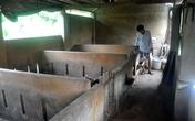 Chuyện lạ Quảng Nam: Trâu bò ở nhà lầu, người ở nhà cấp 4