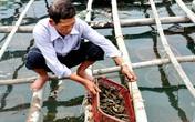 Nuôi hàu sữa lãi trăm triệu mỗi năm ở vùng biển Sa Huỳnh