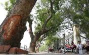Nghi vấn bí ẩn vụ xà cừ bị lột vỏ hàng loạt trên đường phố Hà Nội