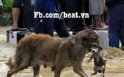 Chó mẹ ngoặm chó con chạy lũ làm lay động lòng người