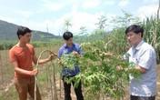 Nông dân khóc ròng vì nghe thương lái gạ trồng hàng chục hecta cây chùm ngây