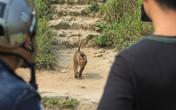 """Hi hữu: Vây bắt chú khỉ """"thích"""" tấn công phụ nữ trên đỉnh Sơn Trà"""