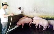 """Dịp cuối năm, """"sốt"""" lợn ăn thảo dược, thuốc Bắc"""