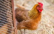 Rộ mốt cho thuê gà đẻ lấy trứng tươi