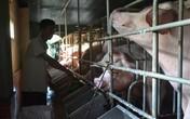 Đà Nẵng: Độc đáo nuôi heo bằng máy lạnh