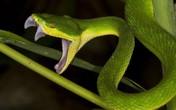 Vì sao rắn lục đuôi đỏ xuất hiện, cắn người ở TP.HCM?