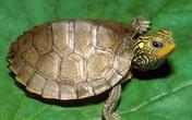 Đổi đời nhờ gặp rùa vàng