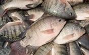 Những lưu ý nhất khi ăn cá rô phi để tránh bị nguy hiểm