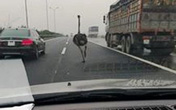 Đà điểu 'đua' xế hộp trên cao tốc Cầu Giẽ-Ninh Bình