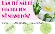 Mẹo kích hoa loa kèn nở căng, tươi lâu