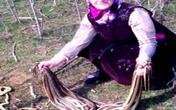 """Cụ bà 60 tuổi làm vườn """"hạ gục"""" một lúc 80 con rắn"""