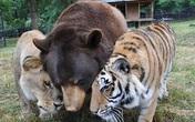 Tình bạn khăng khít của bộ ba sư tử, cọp, gấu