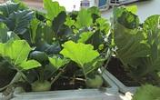 Sân thượng trống trơn thành vườn rau xanh mướt sau 3 tháng