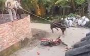 Hi hữu: Trâu sắp bị xẻ thịt náo loạn cả thôn, húc bị thương 4 người