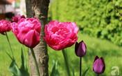 Khu vườn đẹp như tranh vẽ có hoa nở suốt 4 mùa của mẹ Việt ở Đức