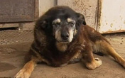 Gương mặt buồn thiu trước khi qua đời của cô chó già nhất thế giới