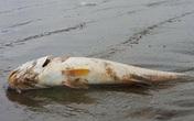 Nghệ An công bố nguyên nhân cá biển chết bất thường
