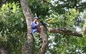 """Hà Nội: Bắt đầu """"hạ"""" hơn 100 cây cổ thụ trên đường Kim Mã"""