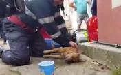 Lính cứu hỏa Romania hô hấp nhân tạo cứu chó gặp nạn