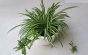15 loại cây hút khí độc tốt nên trồng trong nhà mùa hè