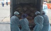 Tiêu huỷ 80 con heo tiêu chuẩn VietGap dương tính với chất cấm gấp 5 lần cho phép