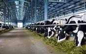 Đại gia ngành sữa với trang trại bò trải khắp Việt Nam