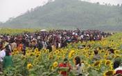 """Giới trẻ phát """"sốt"""" với lễ hội hoa hướng dương"""