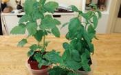 8 loại rau gia vị cực dễ trồng ngay trong căn bếp gia đình