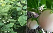 Cách trồng cà pháo trong thùng xốp sai trĩu quả, tha hồ làm cà pháo muối chua