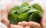 Công dụng chữa bệnh tuyệt vời của rau bạc hà rất nhiều người không biết
