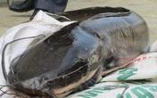 """Cá trê """"thủy quái"""" trên 10 kg/con - """"Nhìn đã thấy sợ, nói chi ăn"""""""