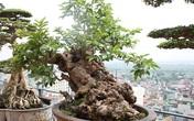 """Đại gia Việt vung triệu đô mua cây ổi, cây sung, cây tùng để chứng tỏ độ """"ngông"""" không ai bằng"""