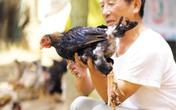 Bí ẩn giống gà miễn nhiễm với nhiều loại dịch