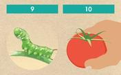 10 bí kíp bạn không thể không biết khi trồng cà chua