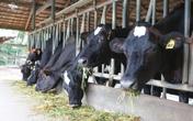 Sữa tươi Việt đạt chuẩn Hà Lan: Công thức dinh dưỡng cho các gia đình năng động