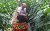 Kiếm 1,5 tỷ/năm nhờ trồng ớt chuông công nghệ cao