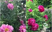 Khu vườn hoa mẫu đơn rộng 1000m² của mẹ Việt ở Đức