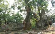 Thông tin mới nhất vụ Hà Nội đồng ý bán cây sưa quý từng được trả giá 100 tỷ