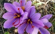 Nhìn giống hoa bèo tây nhưng nhụy của loài hoa này lên đến hàng trăm triệu vì có tác dụng chữa bệnh thần kỳ