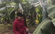 """Kẻ """"đầu độc"""" 2000 buồng chuối ở Hà Nội có thể đối diện mức án tới 20 năm tù"""